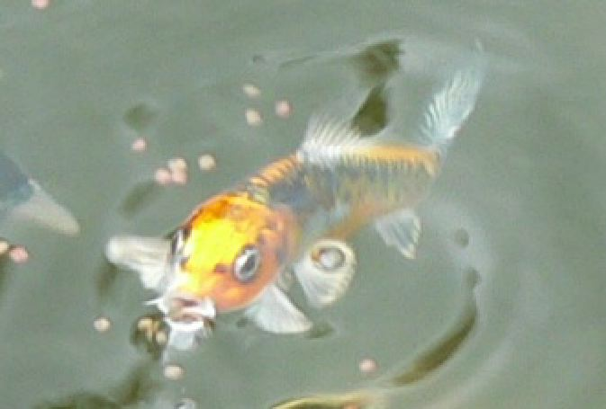 Sale schnauzers appaloosas snails etc cheap for Cheap koi carp for sale